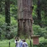 羽黒山の爺杉